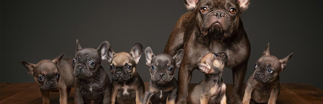 French bulldog puppy scam exploits COVID-19 crisis