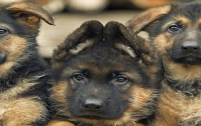 Families bilked in puppy scam, says Better Business Bureau